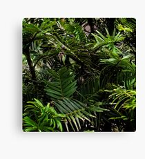 Wollemi Pine, the 'living fossil' tree of Australia Canvas Print