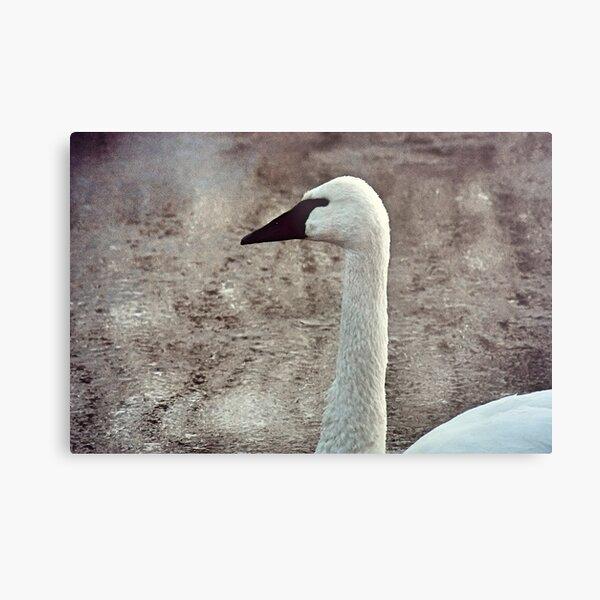 Close-up Swan Metal Print