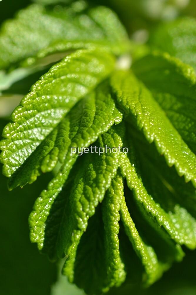 Unfurling Rose Leaf by pyettphoto