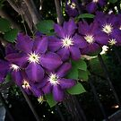 Purple Clematis on Fence by Colleen Drew