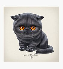 Cataclysm - Exotic Shorthair Kitten - Classic Photographic Print