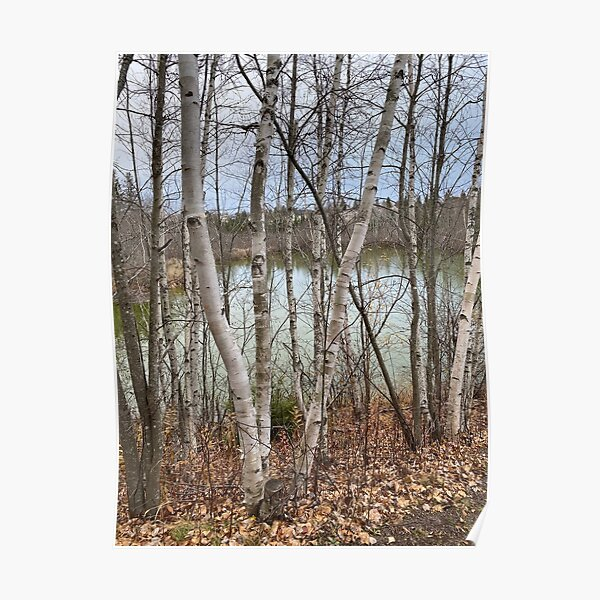 Birch Trees In The Autumn Near A Lake in New Brunswick Poster