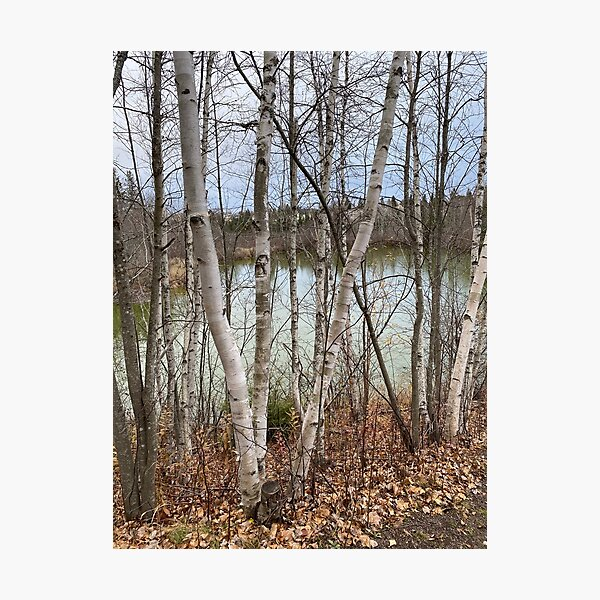 Birch Trees In The Autumn Near A Lake in New Brunswick Photographic Print