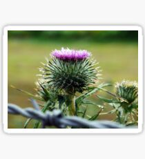 My Ireland - Early Morning Thistle Sticker