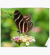 Zebra Longwing in profile Poster