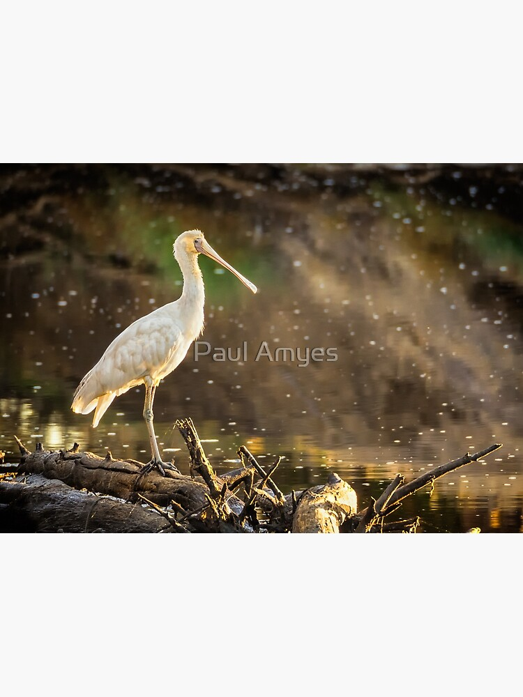 Yellow-billed Spoonbill by AmyesPhotograph