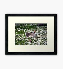 duck among daisies in fota wildlife park near cobh Framed Print