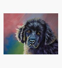 Rainbows & Sunshine Newfoundland Puppy  Photographic Print