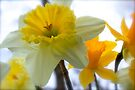 Under The Daffodils  by NatureGreeting Cards ©ccwri