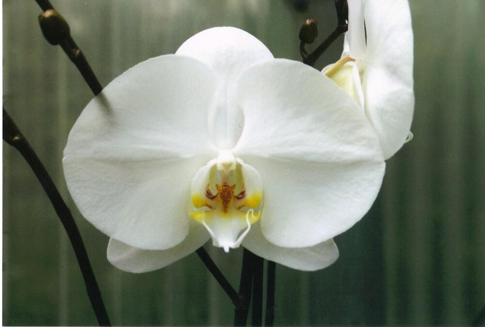 White Orchid by Sheri Ann Richerson