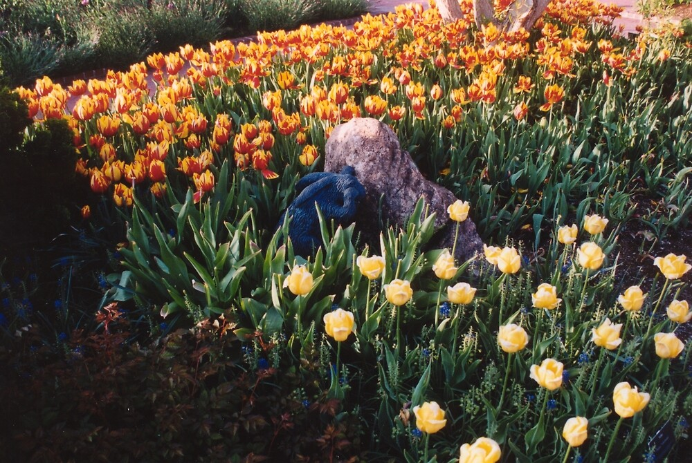 A bunny hiding in the tulips! by Sheri Ann Richerson