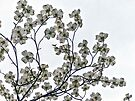 White Dogwood by FrankieCat