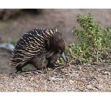 A cute little Echidna Photographic Print