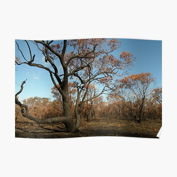 Joe Mortelliti Gallery - Scorched Otways, near Anglesea, Otways Forest, Victoria, Australia. Poster