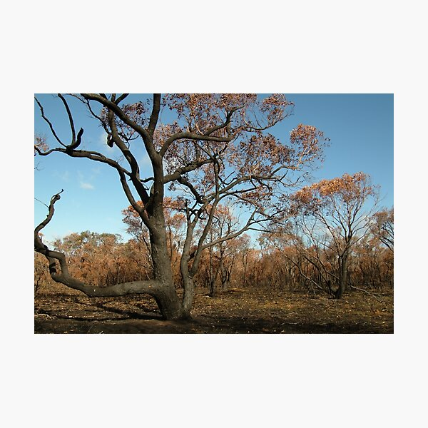 Joe Mortelliti Gallery - Scorched Otways, near Anglesea, Otways Forest, Victoria, Australia. Photographic Print