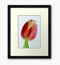 red tulip isolated on white  Framed Print