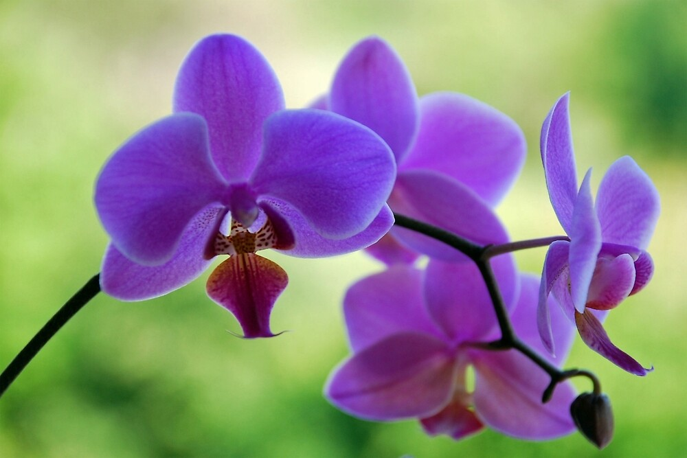 Purple orchid in green environment by Arie Koene