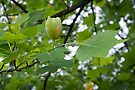 Oh, That's why it's Called a tulip tree by wolftinz