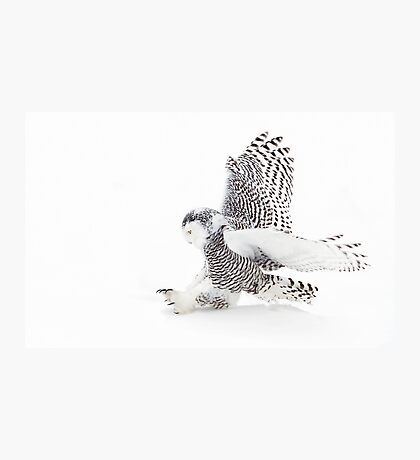 Snowy Owl catching prey Photographic Print