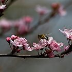Bee, blossom and promise of spring by Violaman