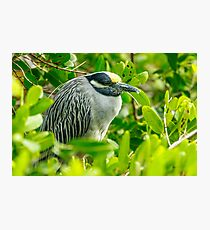 Yellow Crowned Night Heron Photographic Print