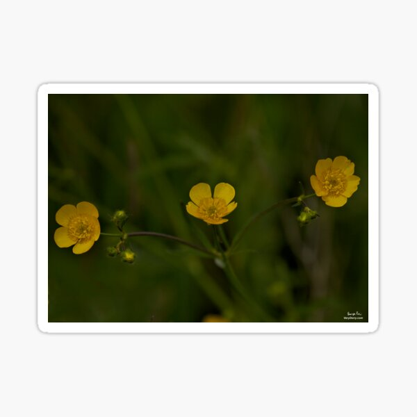 Three Meadow Buttercups - Burntollet Woods, County Derry Sticker