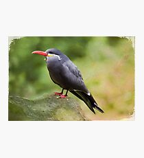 Inca Tern Photographic Print