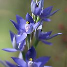 Blue Sun Orchid by kalaryder