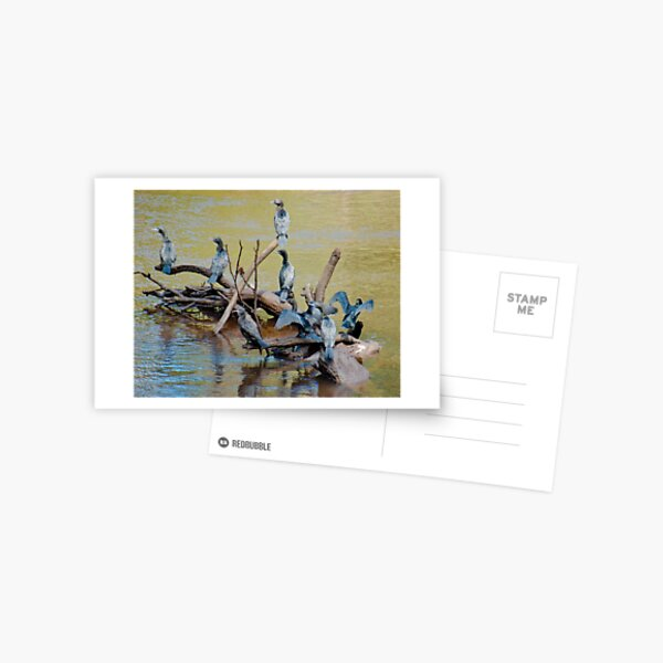 MARINE BIRD ~ Little Black Cormorant QAFZ2D7F by David Irwin 06012021 Postcard