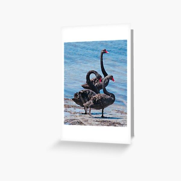 WATERFOWL ~ Black Swan N7L26L7P by David Irwin 06012021 Greeting Card