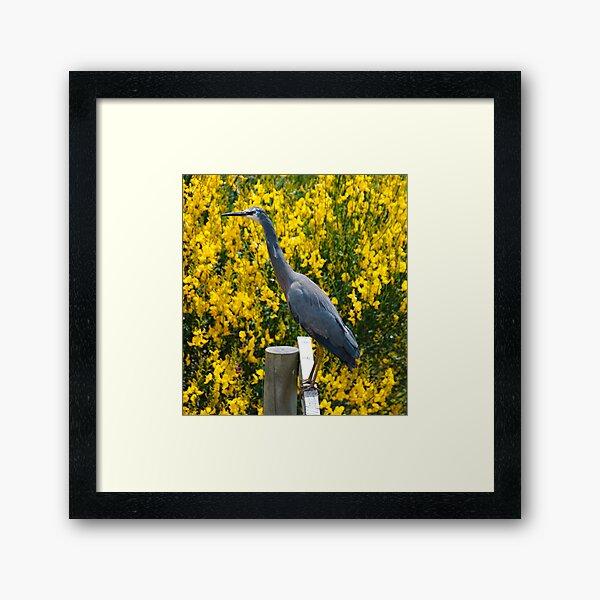 WADER ~ White-faced Heron KC5TFDAJ by David Irwin 06012021 Framed Art Print