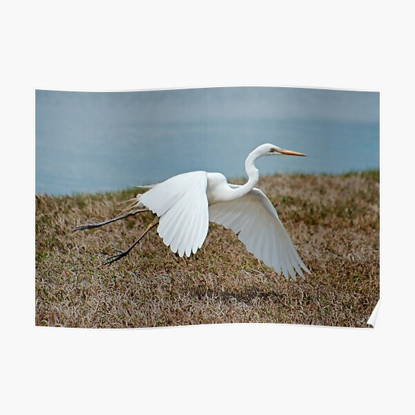 WADER ~ Great Egret MC3H59W5 by David Irwin 06012021 Poster