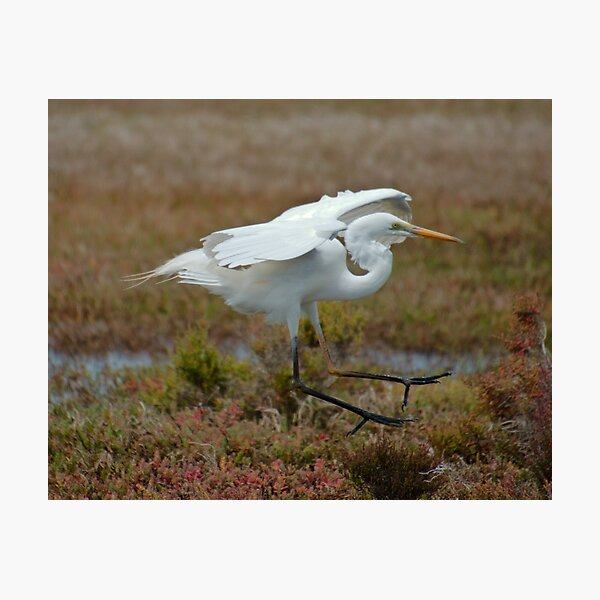 WADER ~ Great Egret Z4AHP8CG by David Irwin 06012021 Photographic Print