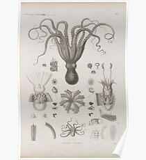 Vintage Cephalopod Zoological Diagram Poster