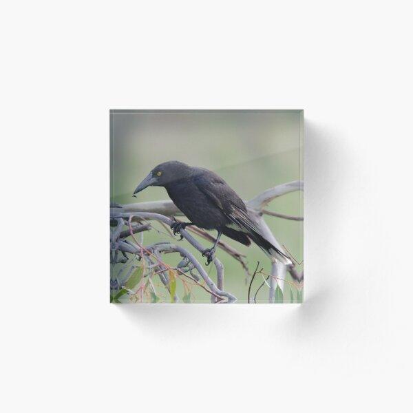 ARTAMIDAE ~ Grey Currawong 79K98PUU by David Irwin 06012021 Acrylic Block