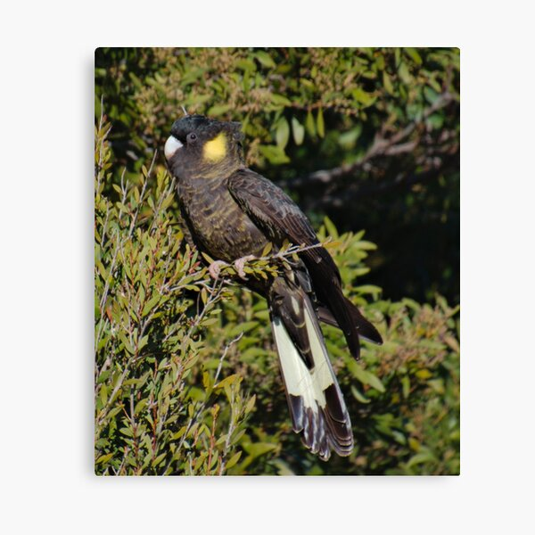 PARROT ~ Yellow-tailed Black Cockatoo meHYwEWH by David Irwin 06012021 Canvas Print