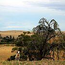 Lone Sheep by Asoka