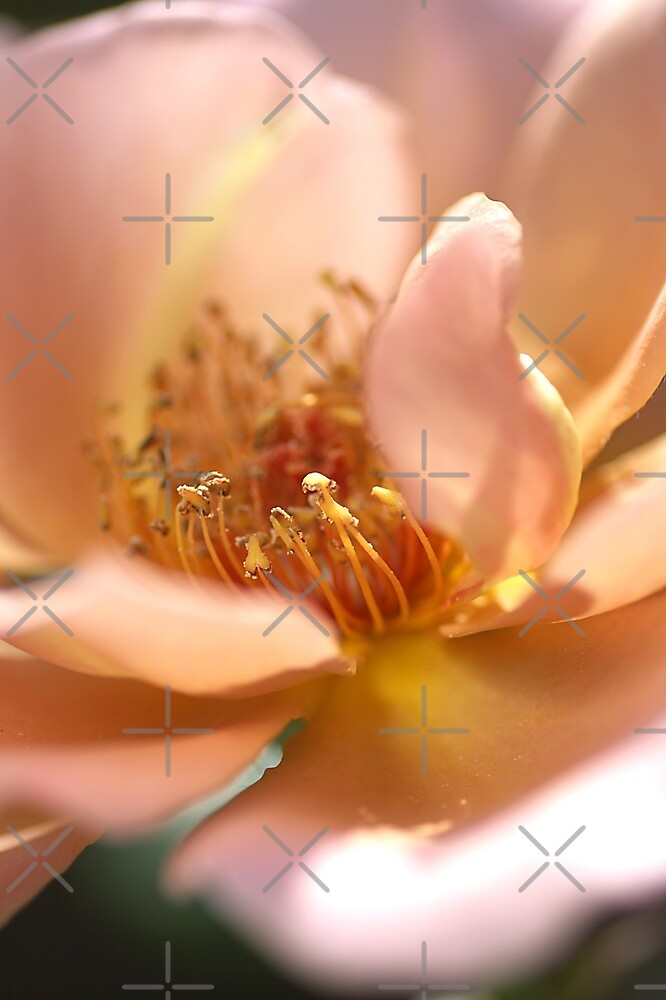 Pink with a Golden Touch Rose by Joy Watson