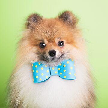 Cute Pomeranian with a ribbon by madebyrina