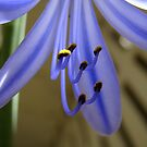 agapanthus ~ feeling blue by Jan Stead JEMproductions