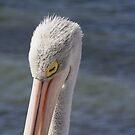 Pelican Sleeping by Stephen Mitchell