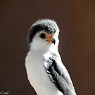 African Pygmy Falcon by © Loree McComb