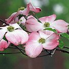Dogwood Blossoms by Rusty Katchmer