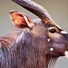 Is that  fly on my nose / Nyala -Tragelapus angasi by cs-cookie