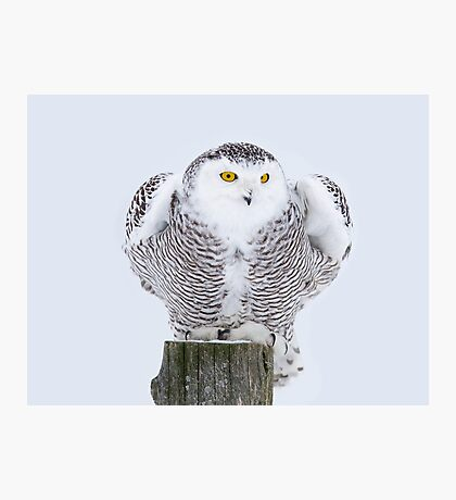 Perch - Snowy Owl Photographic Print