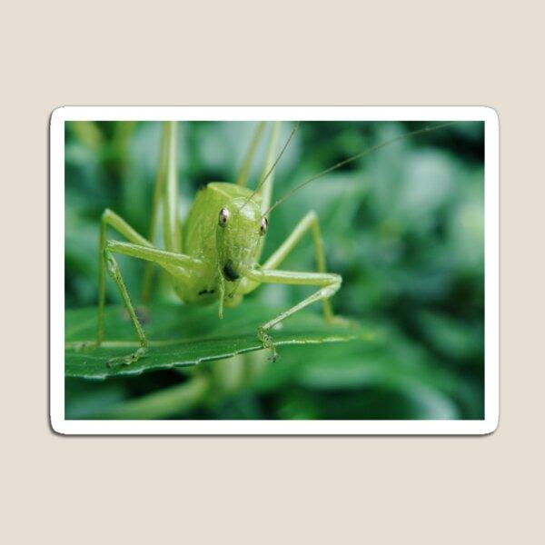 Curious Cricket Magnet