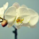 Vanilla Orchid by Karen E Camilleri