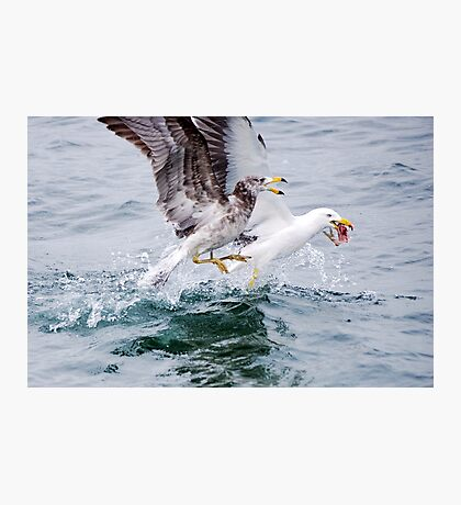 Winner takes all - Pacific Gulls Photographic Print