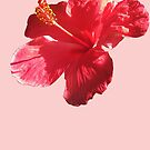 Hibiscus by DAdeSimone