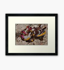 Flamboyant Cuttlefish, Kapalai, Sabah, Malaysia Framed Print